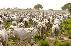 cows in South Sudan