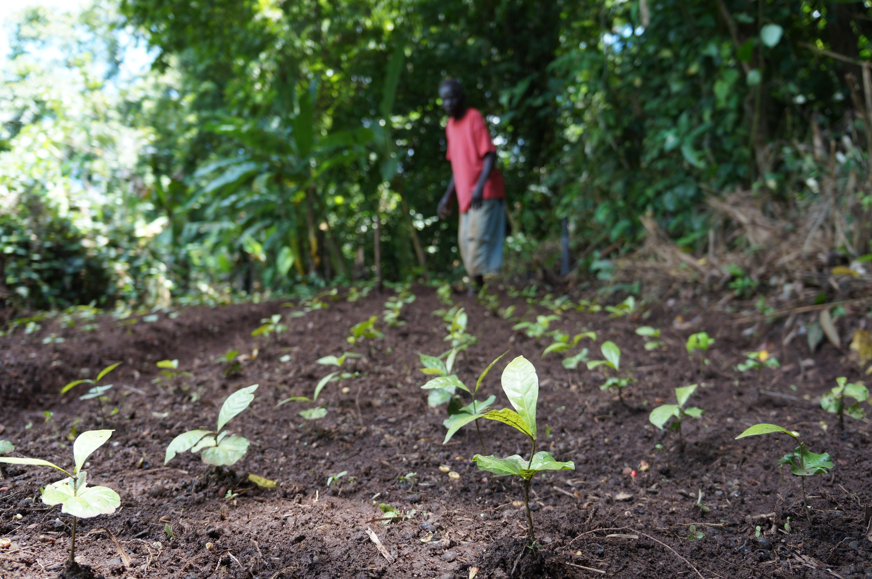 cTechnoServe_coffee_plantlet_nursery_South_Sudan