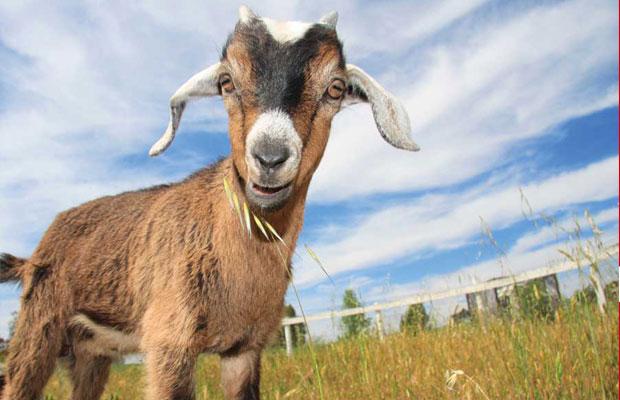 Police arrests 5 children allegedly stealing goats in Wau