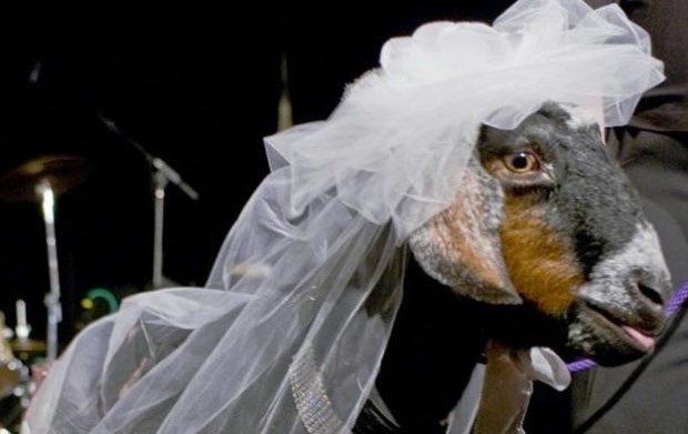 man marry a goat in S.Sudan