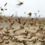 Destructive locust swarms arrive in South Sudan