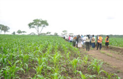 South Sudan refugees start large scale commercial maize farming in Uganda